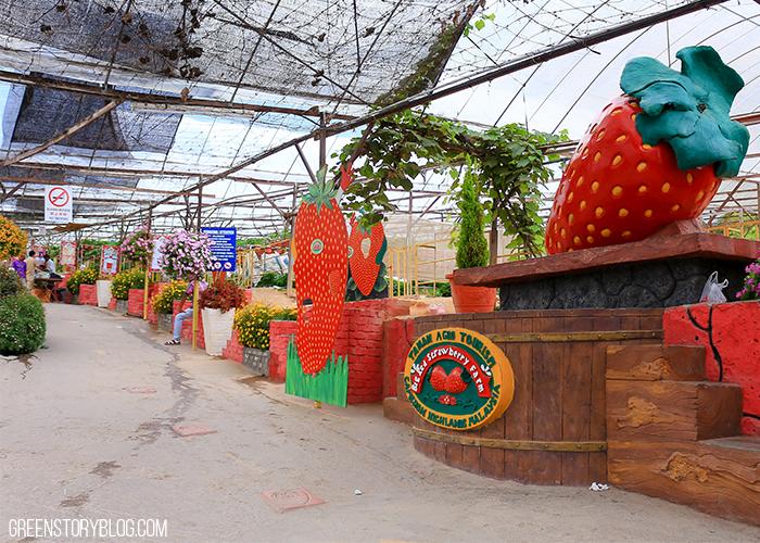 Cameron Highland Agro Tourism   Strawberry Farm